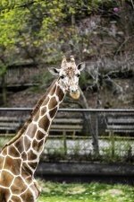 Erie Zoo's giraffe, Nigel, to leave for Midwest