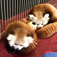 Erie Zoo Welcomes Knoxville Zoo Red Panda Cub