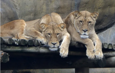 Round up the pack: Erie Zoo is scheduled to open Feb. 27
